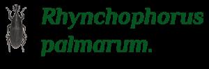 4 - Rynchophorus palmarum