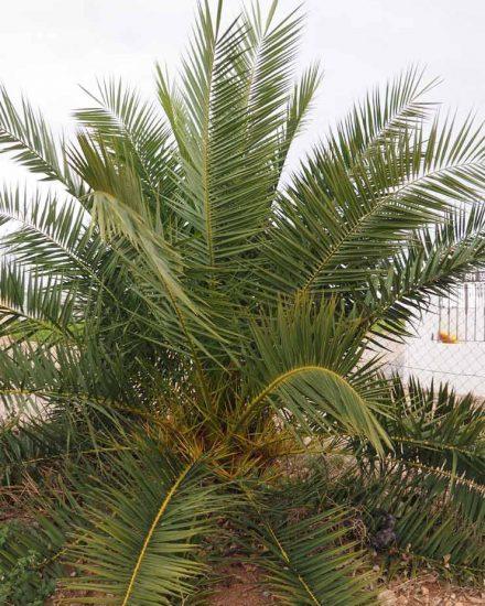 Palmera Phoenix canariensis 12