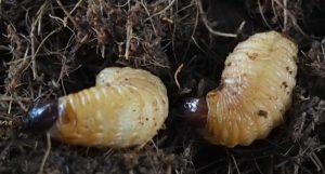 Larva del picudo rojo