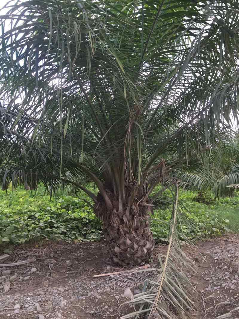 Palmera  Palma africana