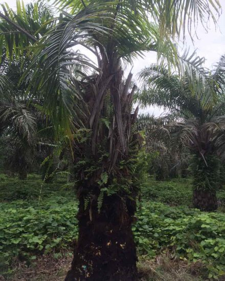 Palmera Palma africana 2
