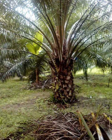 Palmera  Palma africana 3