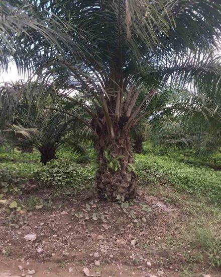 Palmera Palma africana 4