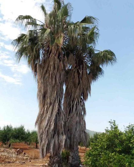 Palmera Phoenix Washingtonia robusta 2