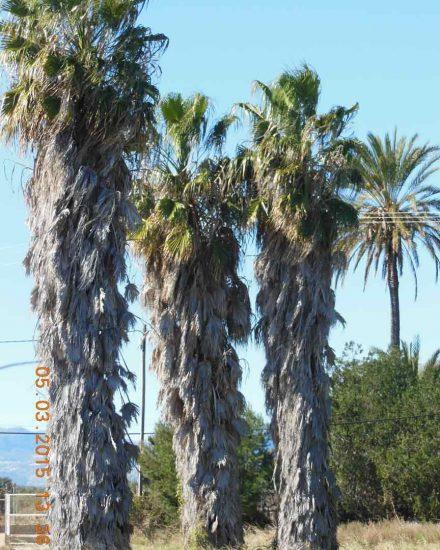 Palmera Phoenix Washingtonia robusta 4