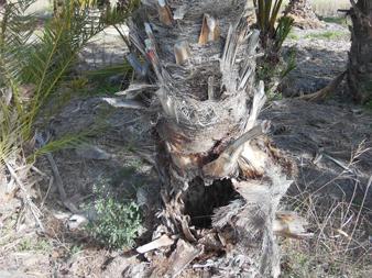 Phoenix-dactylifera-base-attacks-11