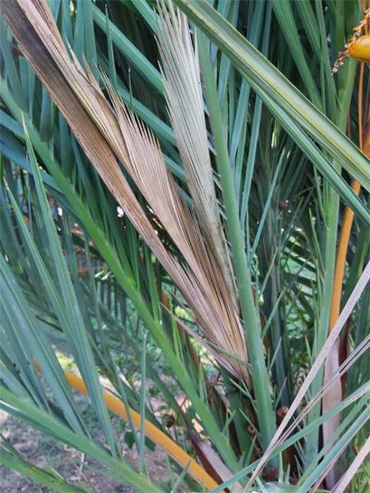 Phoenix-dactylifera-fallen-central-leaves-4-1