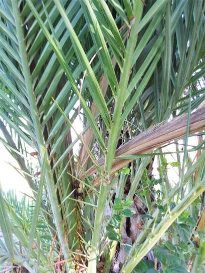 Phoenix-dactylifera-fallen-central-leaves-4