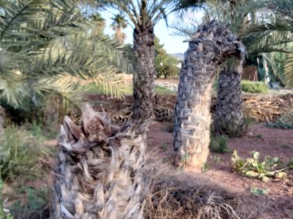 Phoenix-dactylifera-lateral-attacks-5