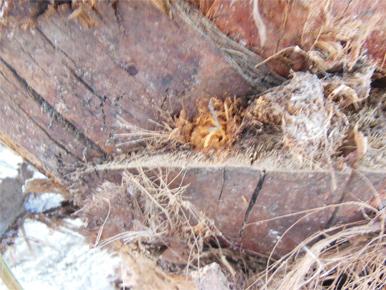 Phoenix-dactylifera-sawdust-appearance-4