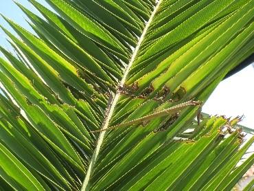 Síntoma Phoenix canariensis-4