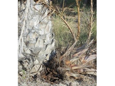 Síntomas-del-picudo-rojo-Phoenix-dactylifera-ataque-de-hijuelos-1.