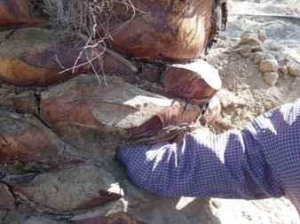 Síntomas-del-picudo-rojo-Phoenix-dactylifera-ataques-basales-10