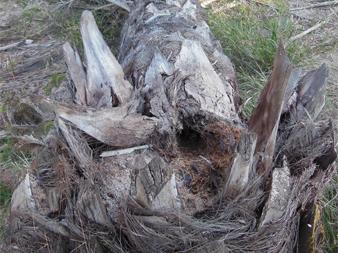 Síntomas-del-picudo-rojo-Phoenix-dactylifera-ataques-basales-12