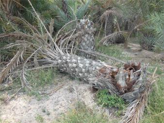 Síntomas-del-picudo-rojo-Phoenix-dactylifera-ataques-basales-6.