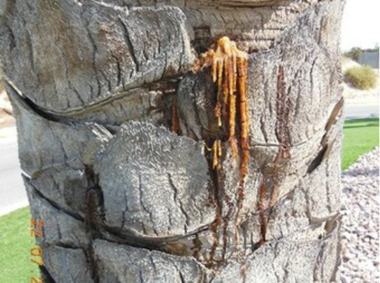 Síntomas-del-picudo-rojo-Phoenix-dactylifera-exudación-sabia-fermentada-7.