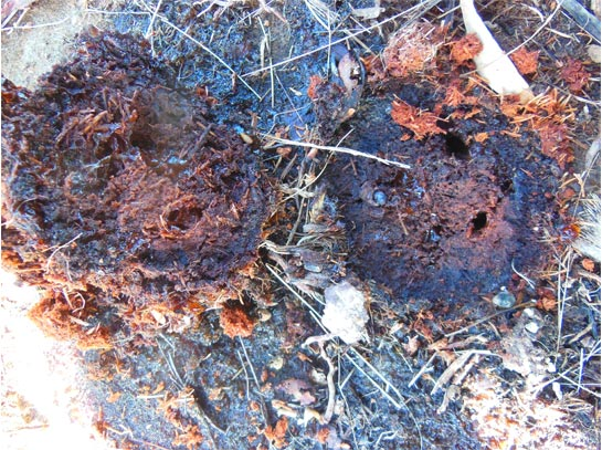 Síntomas-del-picudo-rojo-Phoenix-dactylifera-exudación-sabia-fermentada-8
