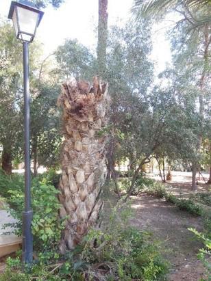 Síntomas-del-picudo-rojo-Phoenix-dactylifera-palmera-muerta-1.