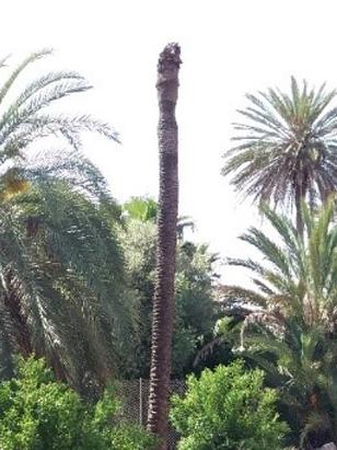 Síntomas-del-picudo-rojo-Phoenix-dactylifera-palmera-muerta-2.