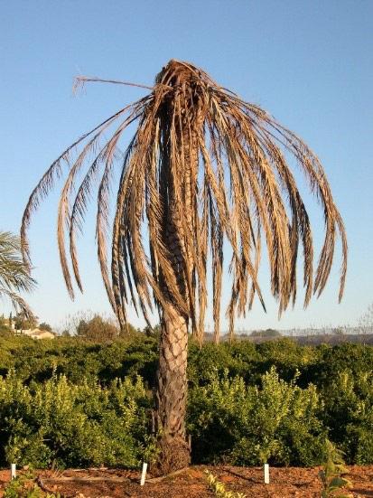 Síntomas-del-picudo-rojo-Phoenix-dactylifera-palmera-seta-5.