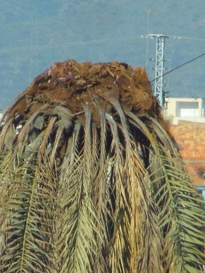 Síntomas-del-picudo-rojo-Phoenix-dactylifera-palmera-seta-6.