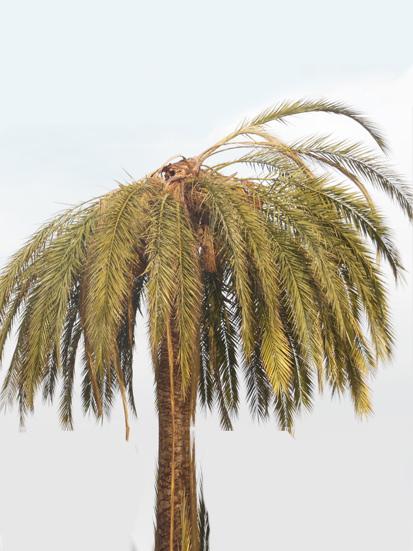 Síntomas-del-picudo-rojo-Phoenix-dactylifera-palmera-seta-7