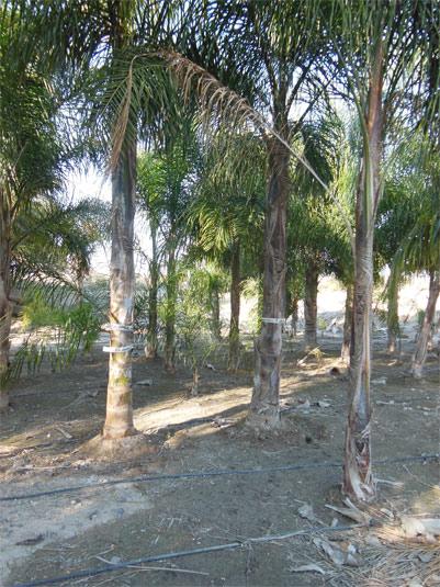 Síntomas del picudo rojo palmera Coco nucífera ataque basal 2.