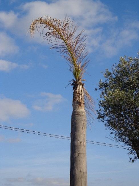 Síntomas-del-picudo-rojo-palmera-Coco-nucífera-ataque-cogollo-1