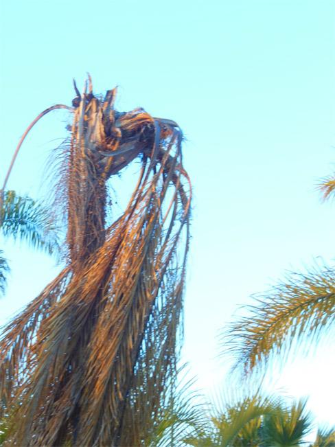 Síntomas-del-picudo-rojo-palmera-Coco-nucífera-ataque-cogollo-4.
