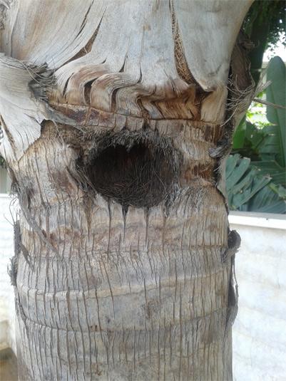 Síntomas del picudo rojo palmera Coco nucífera ataque lateral 1