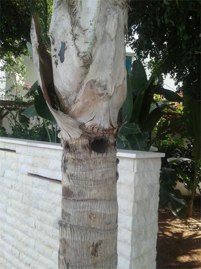 Síntomas del picudo rojo palmera Coco nucífera ataque lateral 2