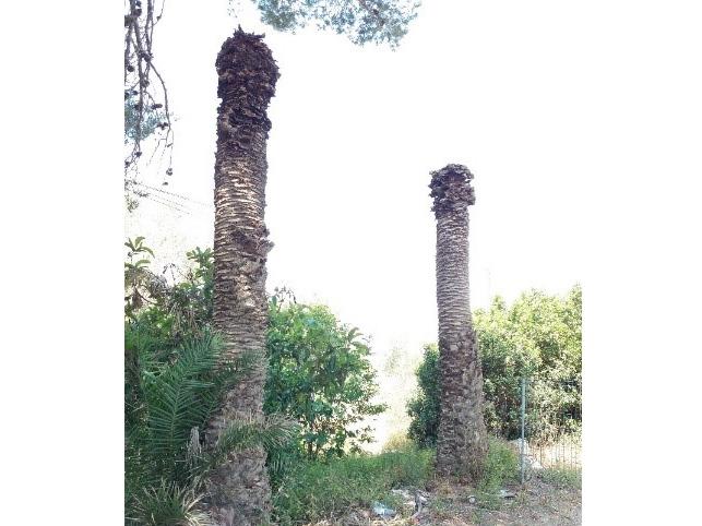 Síntomas-del-picudo-rojo-palmera-Phoenix-canariensis-muerta-2.