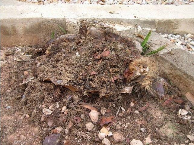 Síntomas-del-picudo-rojo-palmera-Phoenix-canariensis-muerta-7.