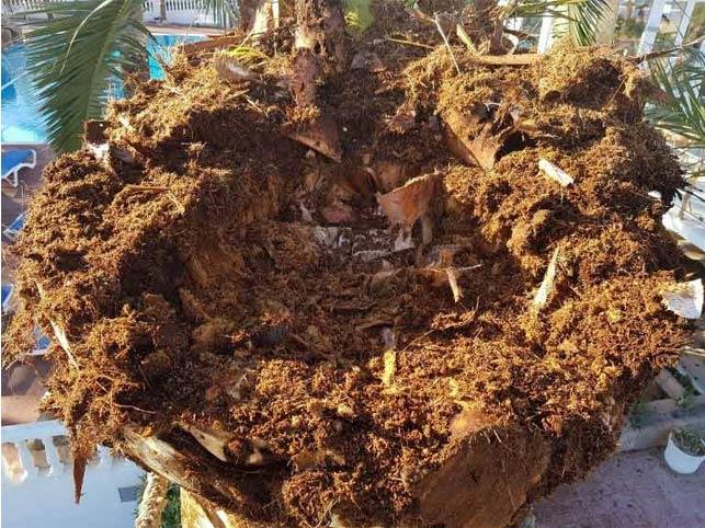 Síntomas-del-picudo-rojo-palmera-Phoenix-canariensis-muerta-9.