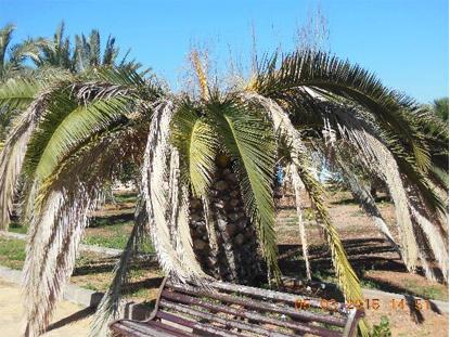 Síntomas del picudo rojo palmera Phoenix canariensis seta 5.