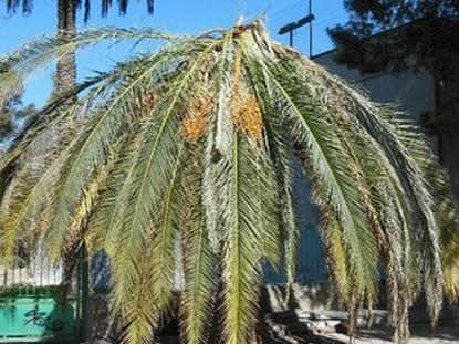 Síntomas del picudo rojo palmera Phoenix canariensis seta 7.