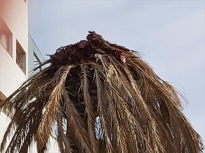 Síntomas-del-picudo-rojo-palmera-Phoenix-canariensis-seta-9