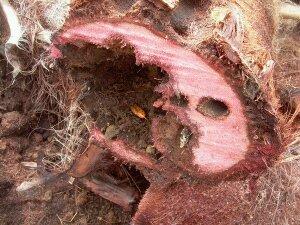 Síntomas del picudo rojo palmera Trachicarpus ataque basal 1