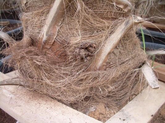 Síntomas-del-picudo-rojo-palmera-Trachicarpus-ataque-basal-1.