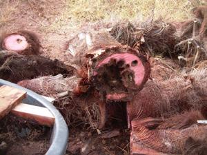 Síntomas-del-picudo-rojo-palmera-Trachicarpus-ataque-basal-2