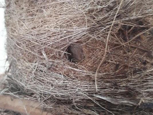 Síntomas-del-picudo-rojo-palmera-Trachicarpus-ataque-basal-2.