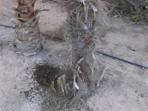 Síntomas-del-picudo-rojo-palmera-Trachicarpus-ataque-basal-3