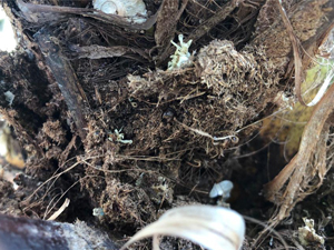 Síntomas-del-picudo-rojo-palmera-Trachicarpus-ataque-basal-4