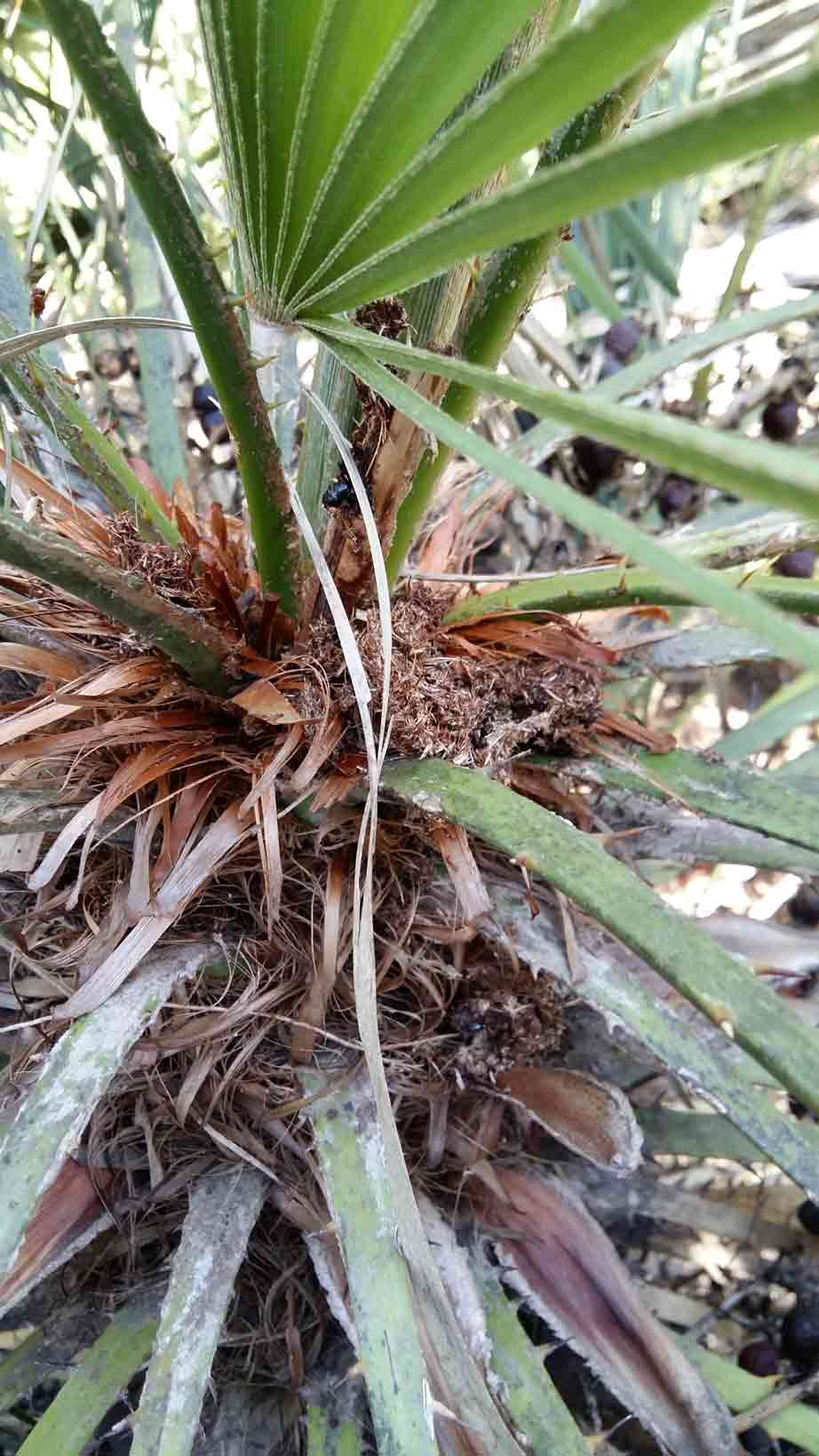 Síntomas-del-picudo-rojo-palmera-Trachicarpus-ataque-cogollol-1