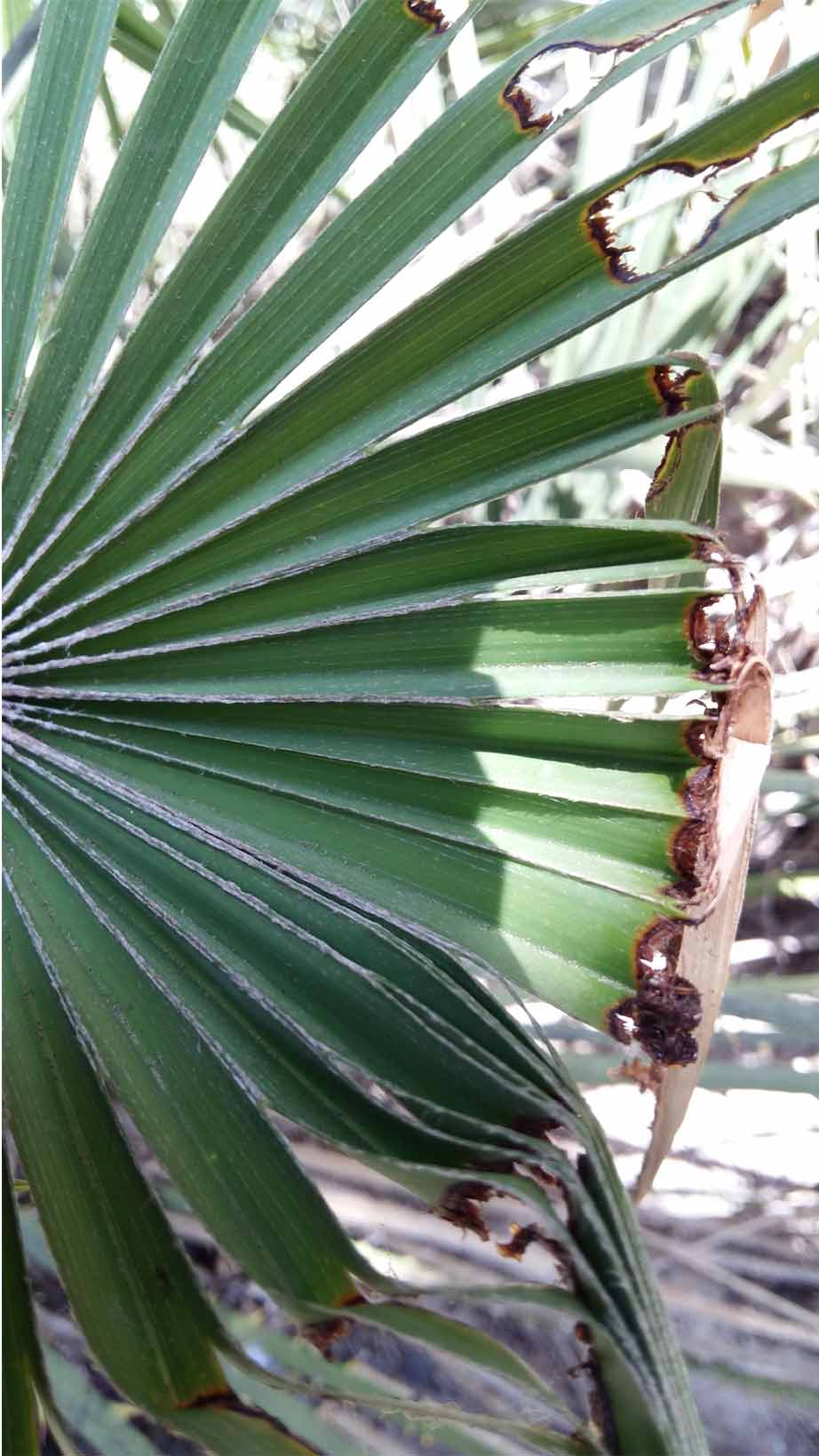 Síntomas-del-picudo-rojo-palmera-Trachicarpus-ataque-cogollol-3