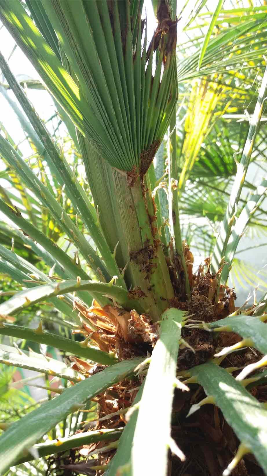 Síntomas-del-picudo-rojo-palmera-Trachicarpus-ataque-cogollol-4