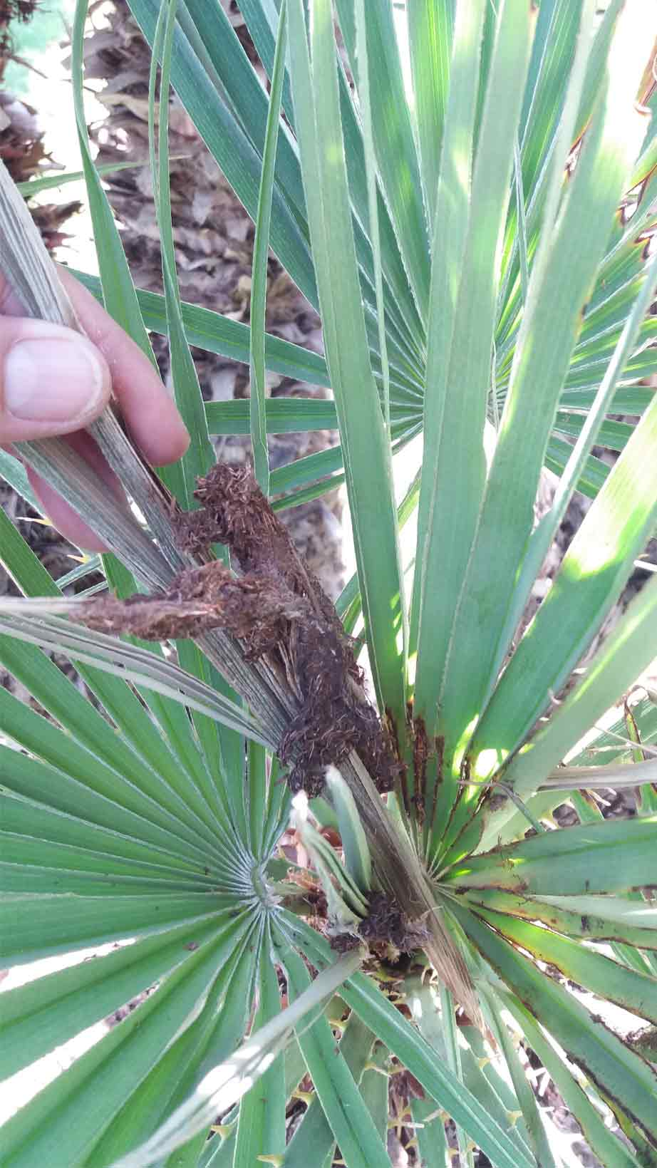 Síntomas-del-picudo-rojo-palmera-Trachicarpus-ataque-cogollol-5