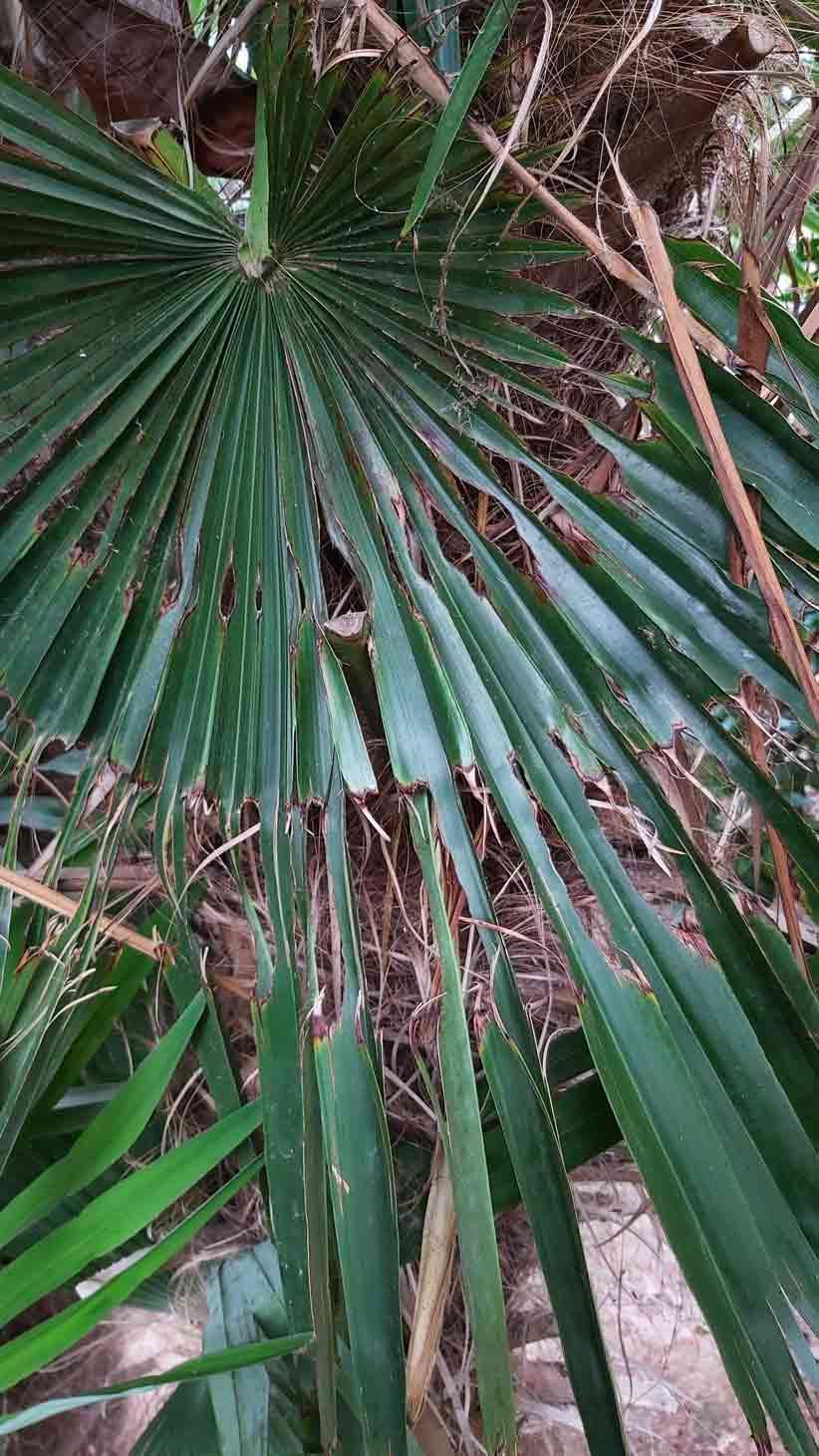 Síntomas-del-picudo-rojo-palmera-Trachicarpus-ataque-cogollol-6