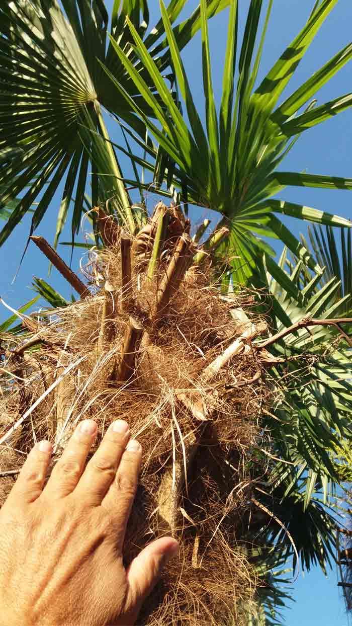 Síntomas-del-picudo-rojo-palmera-Trachicarpus-ataque-cogollol-7