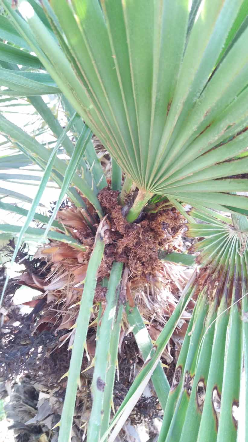 Síntomas-del-picudo-rojo-palmera-Trachicarpus-ataque-cogollol-8